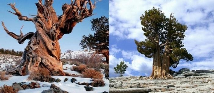 Прометей и деревья Муфусаил в Калифорнии